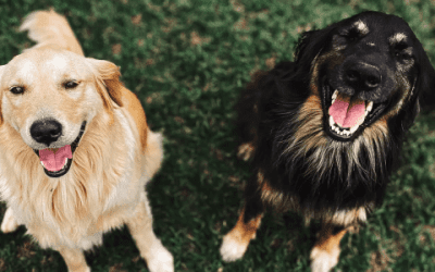 Alles over de zwarte Golden Retriever