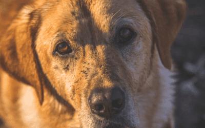 Hoe gaat een Golden Retriever adopteren in het werk?