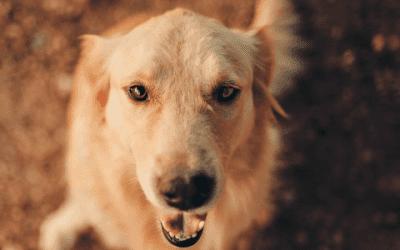 Wat kun je verwachten van een Golden Retriever pup van acht weken?