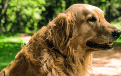 De leukste weetjes over de Golden retriever