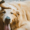 10 tips voor het trainen van je Golden Retriever pup